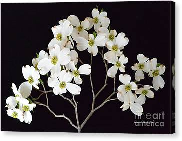 Canvas Print featuring the photograph White Dogwood Branch by Jeannie Rhode
