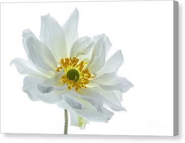 White Double Japanese Anemone Canvas Print by Ann Garrett