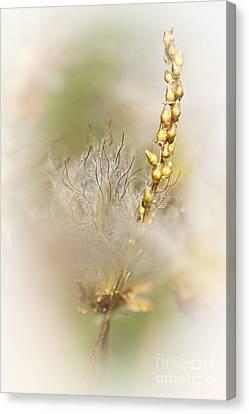 Avens Canvas Print - White Dryas  by Heiko Koehrer-Wagner