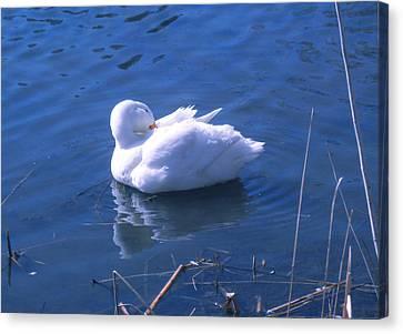 White Duck Canvas Print by David Klaboe