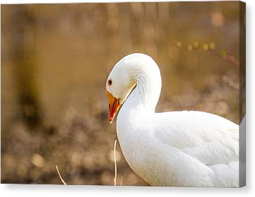 Canvas Print featuring the photograph White Duck by Eleanor Abramson