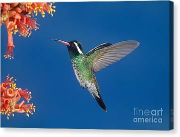 White-eared Hummingbird Canvas Print by Anthony Mercieca