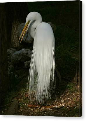 White Egret In The Shadows Canvas Print