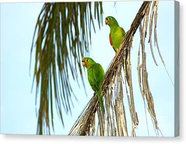 White-eyed Parakeets, Brazil Canvas Print