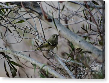 White-eyed Vireo Canvas Print by Donna Brown