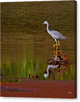 White Faced Heron And His Reflection Canvas Print by Mr Bennett Kent