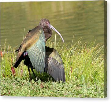 Canvas Print featuring the photograph White-faced Ibis 1 by Bob and Jan Shriner