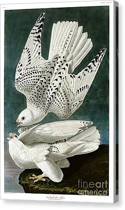 Falcons Canvas Print - White Falcon by Celestial Images