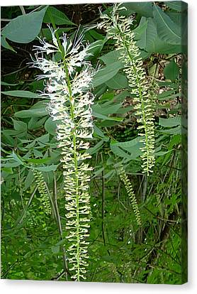 White Fern Canvas Print by Aimee L Maher Photography and Art Visit ALMGallerydotcom