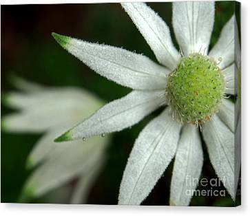 White Flannel Flowers Canvas Print by Kaleidoscopik Photography
