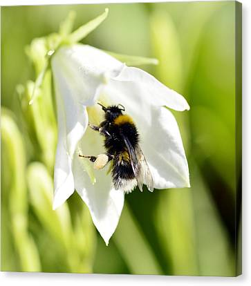 White Flower And Bumblebee Canvas Print