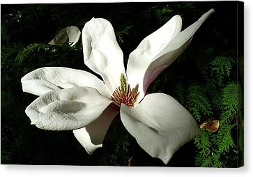 Pestal Canvas Print - White Flower  by Dwight Pinkley