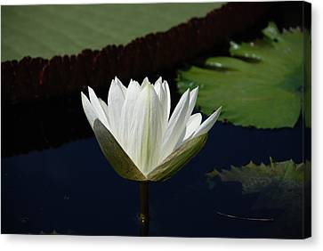 White Flower Growing Out Of Lily Pond Canvas Print by Jennifer Ancker