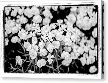 Canvas Print featuring the photograph White Flowers  by Craig Perry-Ollila