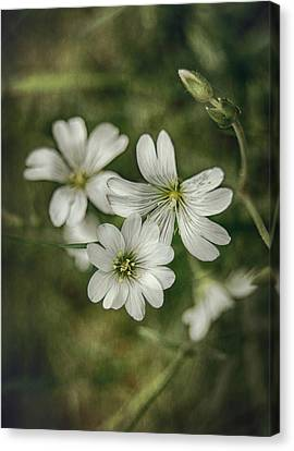 White Flowers Canvas Print by Gynt
