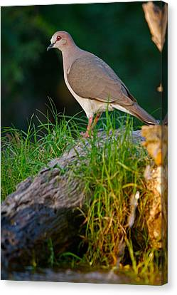 White-fronted Dove Canvas Print