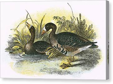 White Fronted Goose Canvas Print by English School