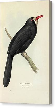White-fronted Nunbird Canvas Print by Natural History Museum, London