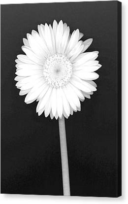 White Gerbera Daisy - Infrared Canvas Print