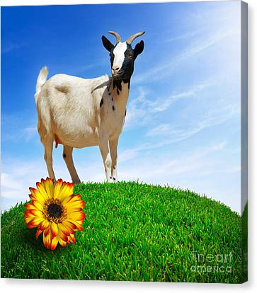 White Goat Canvas Print by Carlos Caetano