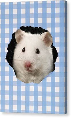 White Hamster Canvas Print by Greg Cuddiford