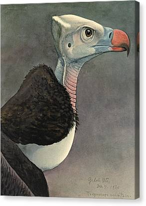Vulture Canvas Print - White Headed Vulture by Dreyer Wildlife Print Collections