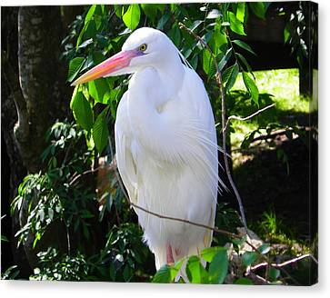 White Heron Beauty Canvas Print by Judy Wanamaker
