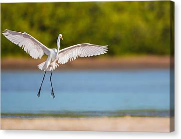 White Heron Landing Graciously Canvas Print by Andres Leon