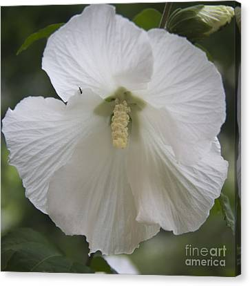 Althea Canvas Print - White Hibiscus Squared by Teresa Mucha