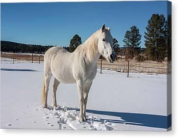 Anticipation Canvas Print - White Horse In Snow by Zandria Muench Beraldo