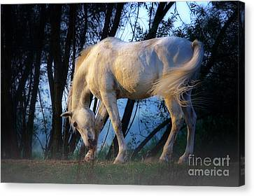 White Horse In The Early Evening Mist Canvas Print by Nick  Biemans