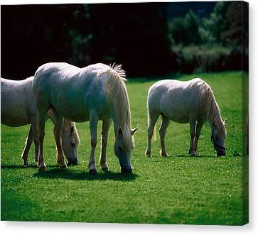 White Horses, Ireland Canvas Print by The Irish Image Collection