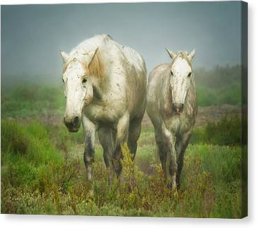White Horses Of Camargue In Field Canvas Print by Sheila Haddad