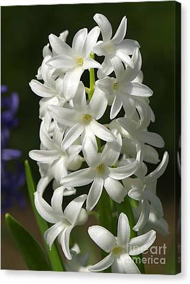 White Hyacinth Canvas Print by Sharon Talson