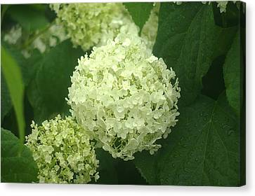 Canvas Print featuring the photograph White Hydrangea Blossoms by Suzanne Powers