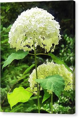 White Hydrangea In Garden Canvas Print by Susan Savad