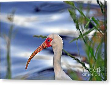 Intriguing Ibis Canvas Print by Al Powell Photography USA