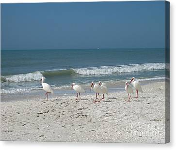 White Ibis In Naples Florida Canvas Print by Heidi Hermes