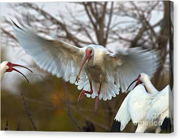 Ibis Canvas Print - White Ibis by Mark Newman