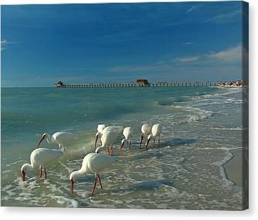 Southwest Canvas Print - White Ibis Near Historic Naples Pier by Juergen Roth