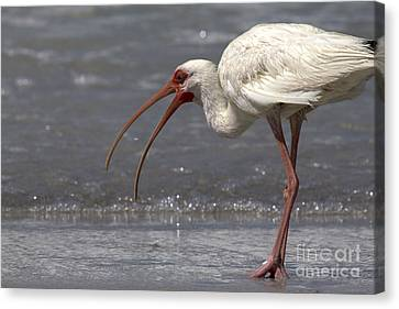 Canvas Print featuring the photograph White Ibis On The Beach by Meg Rousher