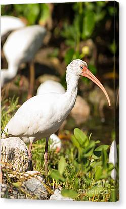 Jn Ding Darling National Wildlife Refuge Canvas Print - White Ibis On The Hunt by Natural Focal Point Photography