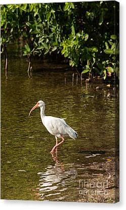 Jn Ding Darling National Wildlife Refuge Canvas Print - White Ibis On The Water by Natural Focal Point Photography