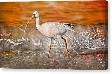 White Ibis Stroll Canvas Print by Betsy Knapp