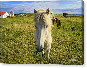 White Icelandic Pony Canvas Print by Patricia Hofmeester