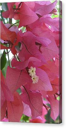 White In Pink Canvas Print by Russell Smidt