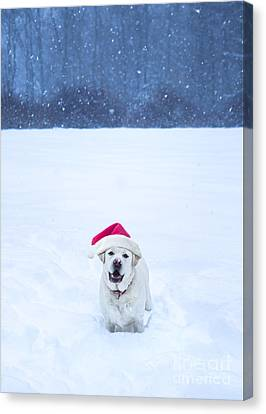 White Lab Christmas Canvas Print by Diane Diederich