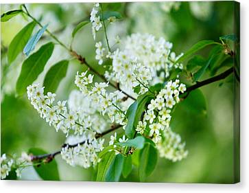 Bough Canvas Print - White Lilac by Nailia Schwarz