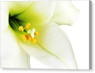 White Lilly Macro Canvas Print by Johan Swanepoel