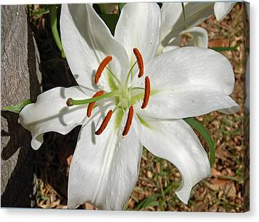 White Lily Canvas Print by Aimee L Maher Photography and Art Visit ALMGallerydotcom